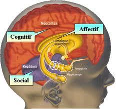 Cerveau limbique.