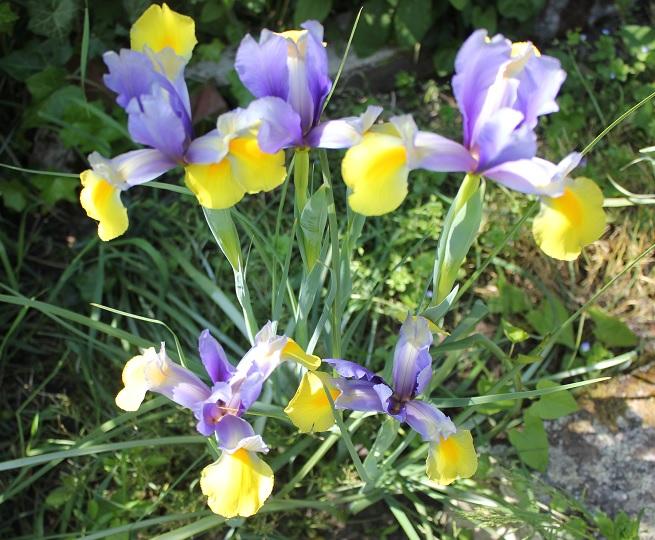 Les iris du jardin de l'école.